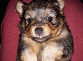 Jack-shweenie puppies