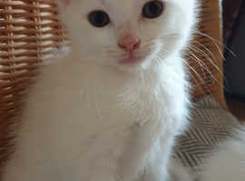 White male kitten