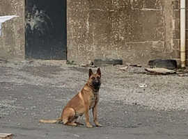Belgian malinois for stud