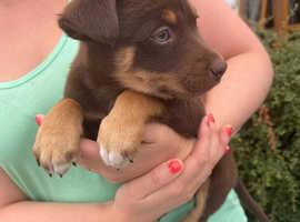 Adorable Kelpie x Welsh Collie Puppies