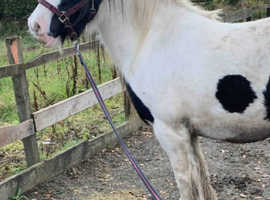 14hh coloured cob mare