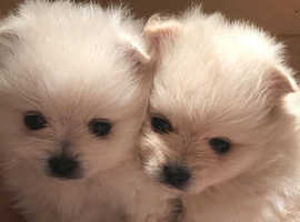 Pomeranian puppies for re-homing