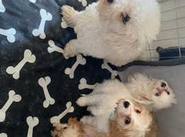 Beautiful cavachon pups
