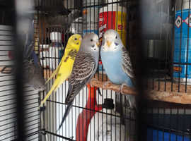 Baby budgies, proven pairs, tufted for sale