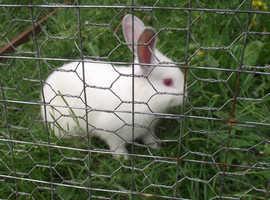 Californian/New Zealand white cross rabbits for sale £20.