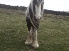 2 cob mares to loan