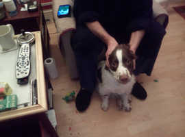 6 month old liver and white Springer spaniel for sale