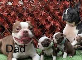**KC Boston puppies** only 2 girls left