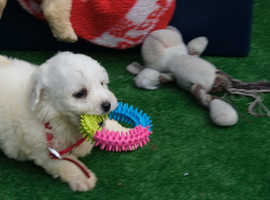 Bichon Frises puppies ready now
