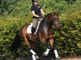 Bay Westphalian Gelding, 8 years, 17.1 hands.