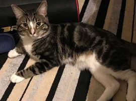 Tabby x Bengal Cat