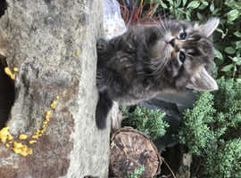 Lovely little tabby grey  fluffy 8 weeks old