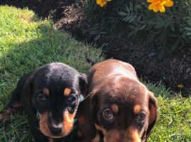 2 x lovely dachshund puppys