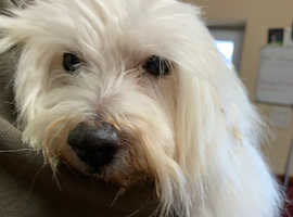 Coton de Tulear 7 years old tinker bell