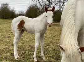 mare and colt foal