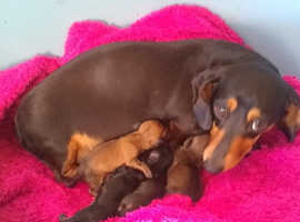 Miniture smooth dachshunds puppies