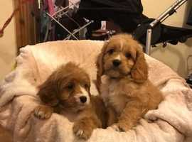 F1 cavapoo from health tested parents
