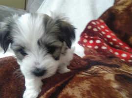 Beautiful 75% Maltese puppies