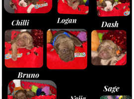 Mastiff Puppies For Rehoming