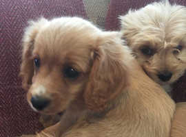 Stunning f1 cavapoo puppies all Heath checked