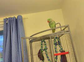 Alexander parrot