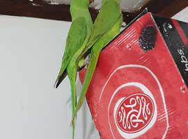 Green Indian Ring Neck Talking Parrot