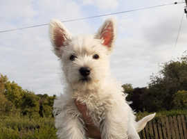 wounderful westie puppies registered