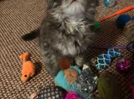 Beautiful Maine Coon cross persian kitten