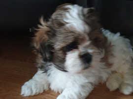 Shichon/ Shih tzu puppies