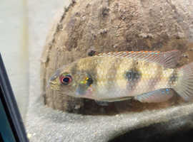 Tropical fish cichlid african butterfly firemouth