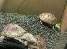 Musk Razorback Turtles x 3