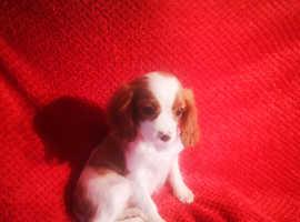 Health Checked Cavalier Puppy