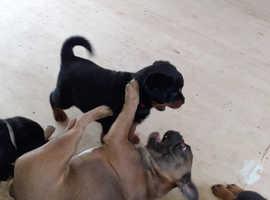 Rottweiler kc registered puppies
