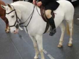 Super Smart well bred Registered Irish Draught 16hh mare