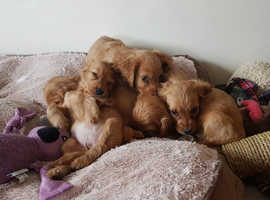 M/F Well TrainedGolden Cocker Spaniels For Sale%