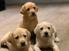 I have 2 beautiful labrador puppys for sale one boy one girl