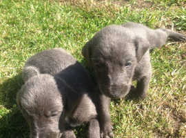 Whippet puppies for sale