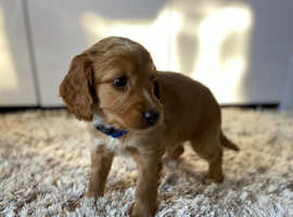 Quality Cockapoo Puppies For Sale Kent F1