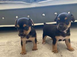 Beautiful jack Russell pups