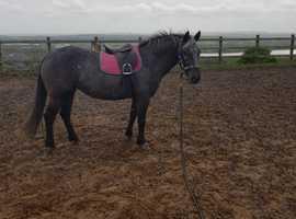 14hh Hunter Pony / Working Hunter