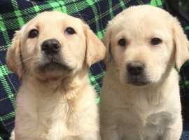 Beautiful litter of Labradors