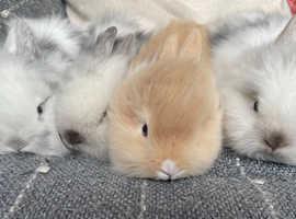 Double Mane Lionhead Bunnies