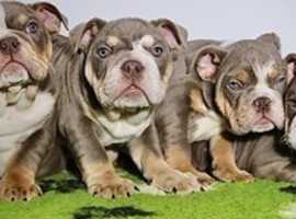 3 FEMALE LILAC TRI ENGLISH BULLDOGS.......4 MONTHS OLD