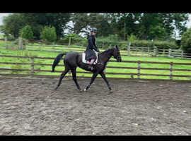 Lovely 16h Black Gelding 8yrs old