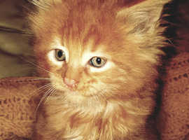 Maine Coons girl