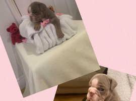 Lilac tri British bulldog puppies