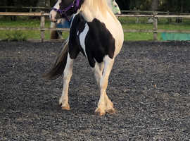 Meet Hetty 16 month Cob Filly Tri coloured