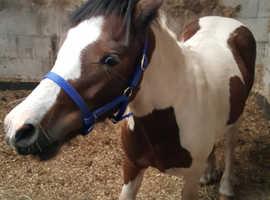 Dartmoor x pony