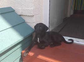 Collie whippet greyhound lurcher puppy