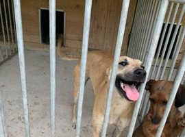 Bedlington x whippetgrehound